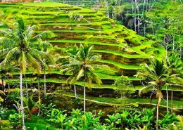 Rice Terrace1